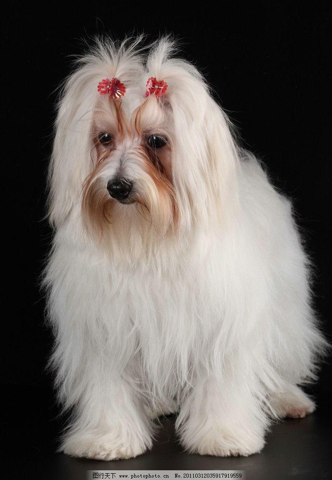 可爱的小狗 宠物狗 狮子狗 博美 小狗 狗 宠物 动物 动物世界 高清
