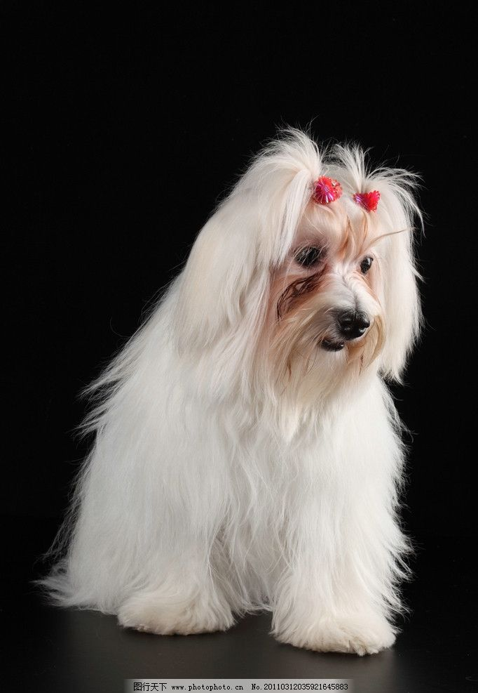 可爱的小狗 小狗 狮子狗 宠物狗 狗 名犬 名狗 狗狗 宠物 动物高清