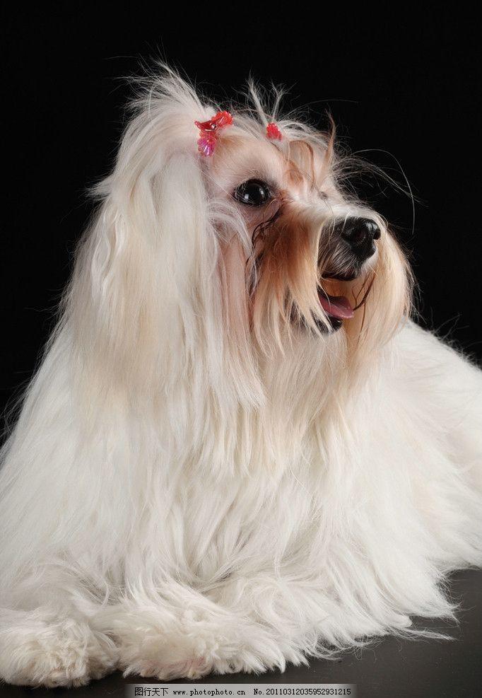 宠物狗 狮子狗 博美 可爱的小狗 小狗 狗 宠物 动物 动物世界 高清