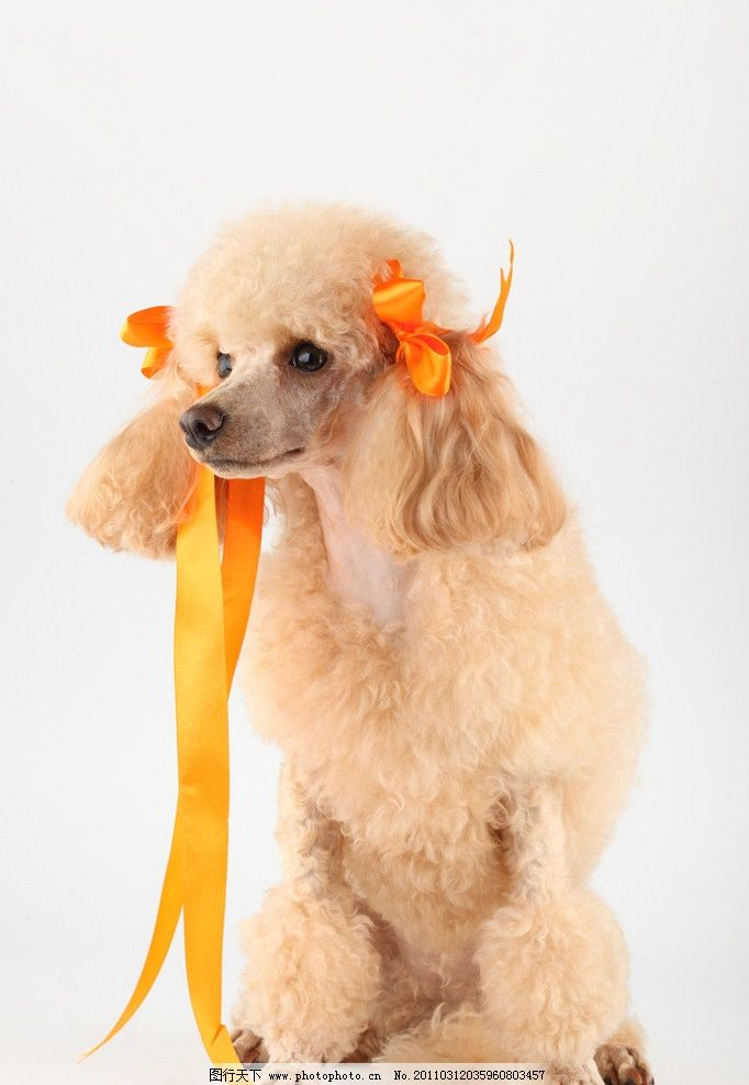 宠物狗 贵宾狗 可爱的小狗 小狗 狗 名犬 名狗 宠物 动物高清动物