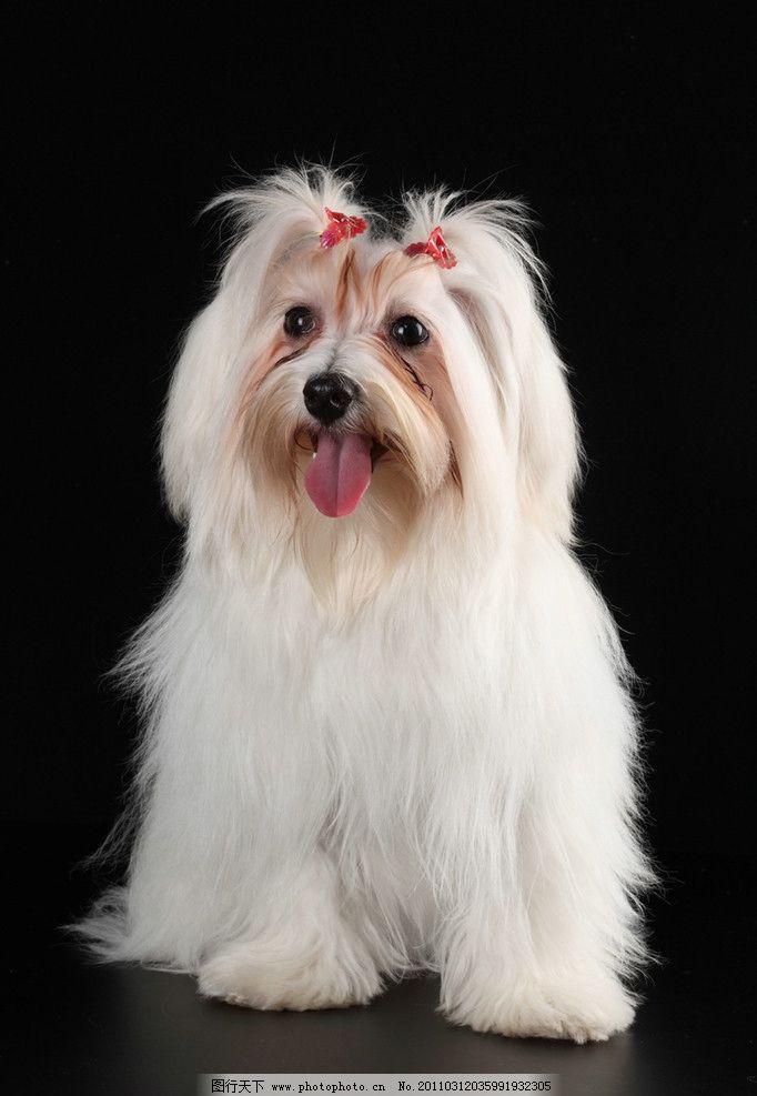 宠物狗 可爱的小狗 名犬 名狗 狗狗 动物高清动物 摄影