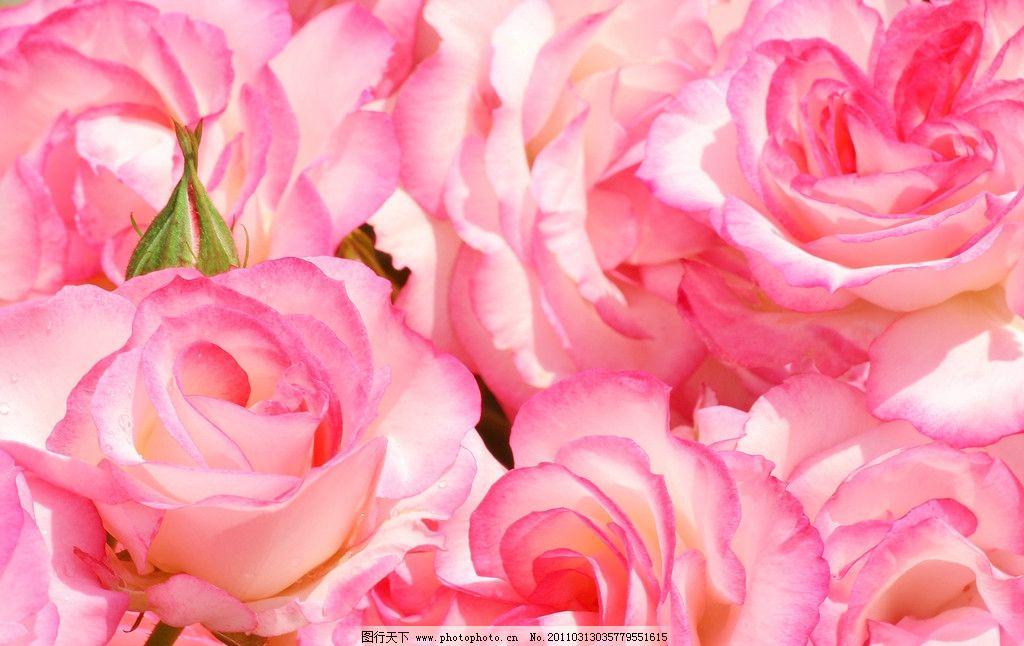 粉玫瑰 玫瑰 红玫瑰 鲜花 小花 树叶 花瓣 风景 植物 月季 花草树木