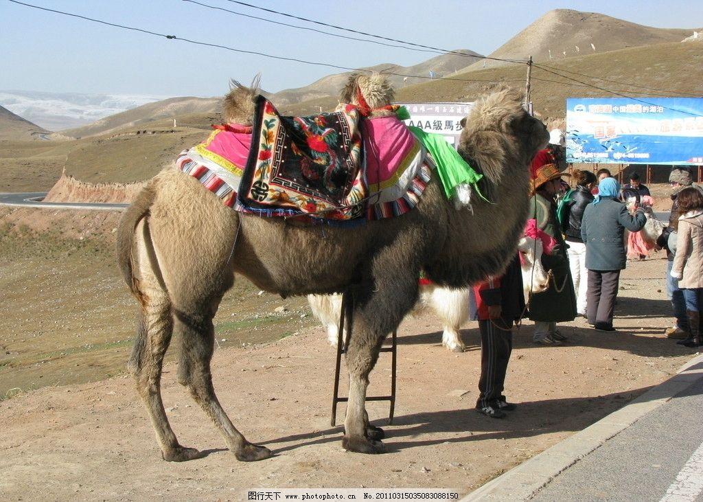 骆驼 青海省 旅游风景区 拍照 野生动物 生物世界 摄影 180dpi jpg