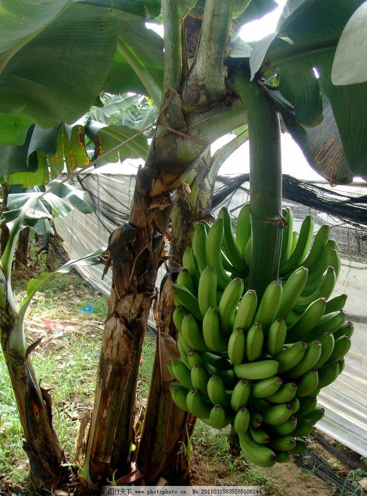 香蕉树 香蕉 植物 叶子 热带植物香蕉树 热带植物 水果 生物世界 摄影