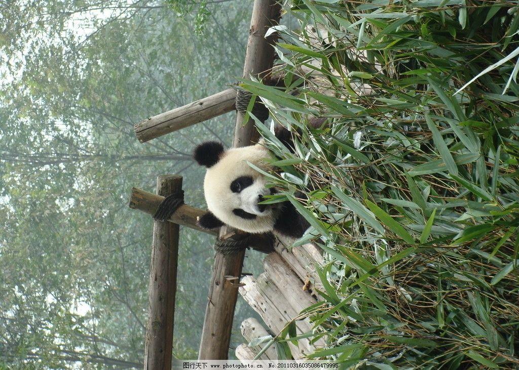 大熊猫 一级保护动物 濒危动物 国宝 可爱 野生动物 生物世界 摄影 72