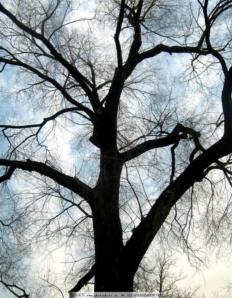 大树 树枝 枯树 摄影