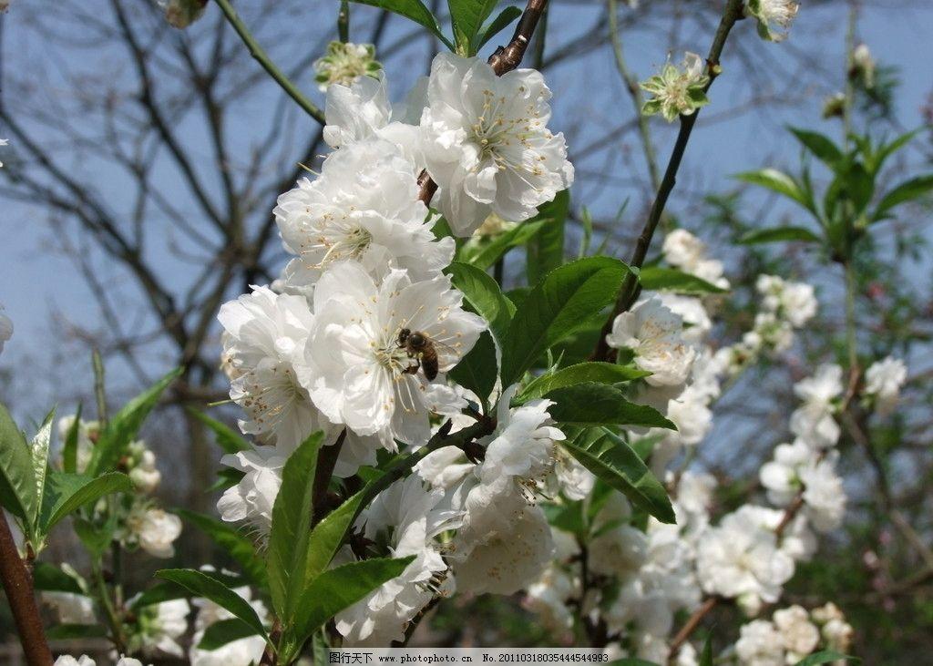 蜜蜂 白桃花图片