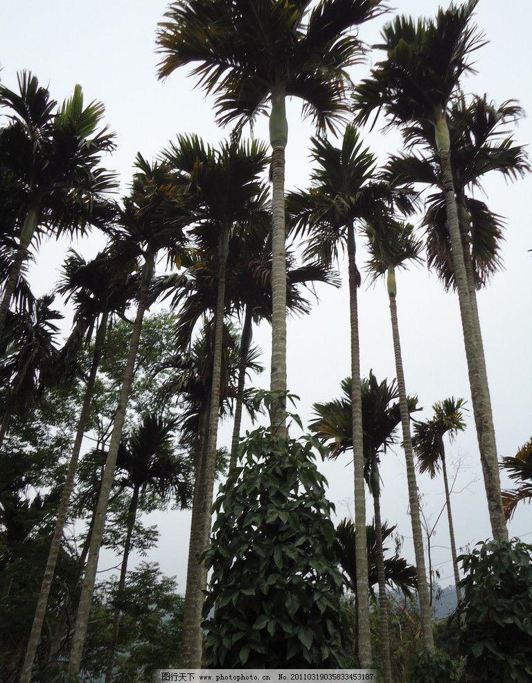 槟榔树 风景 树 自然 海南 槟榔 树木树叶 生物世界 摄影 72dpi jpg