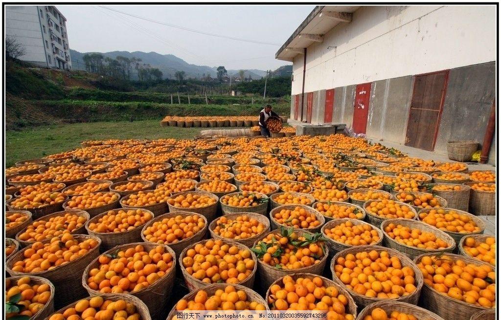 桔子大丰收 橘子 农民 摄影