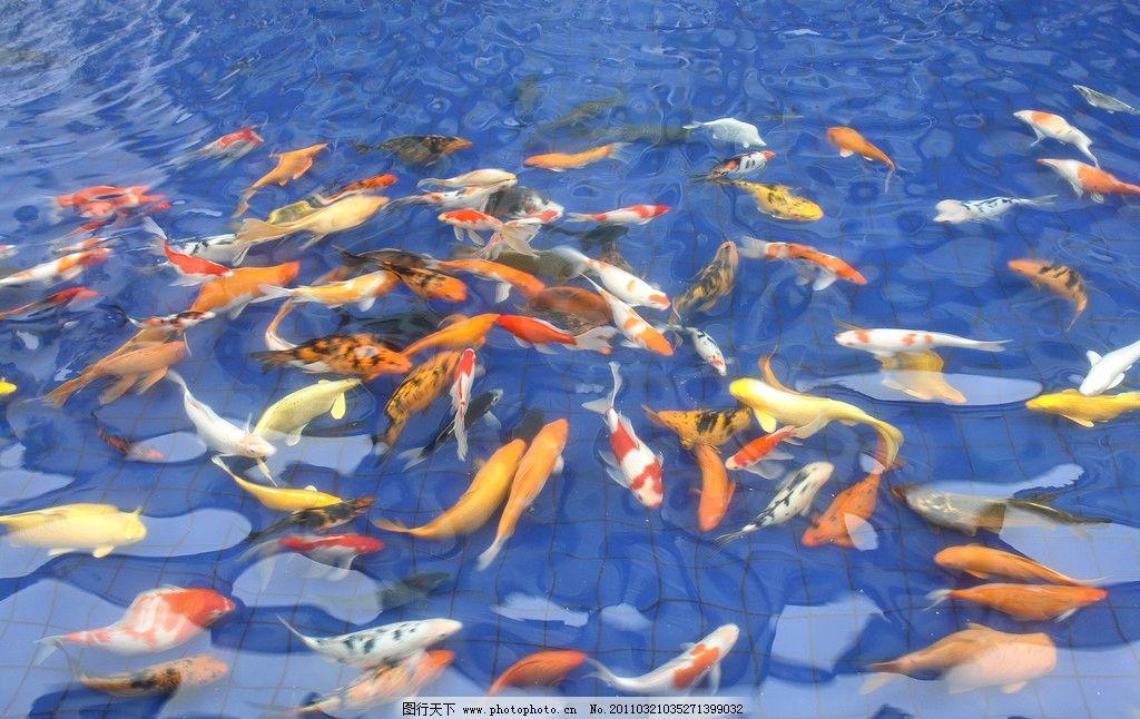 水池中的鲤鱼图片