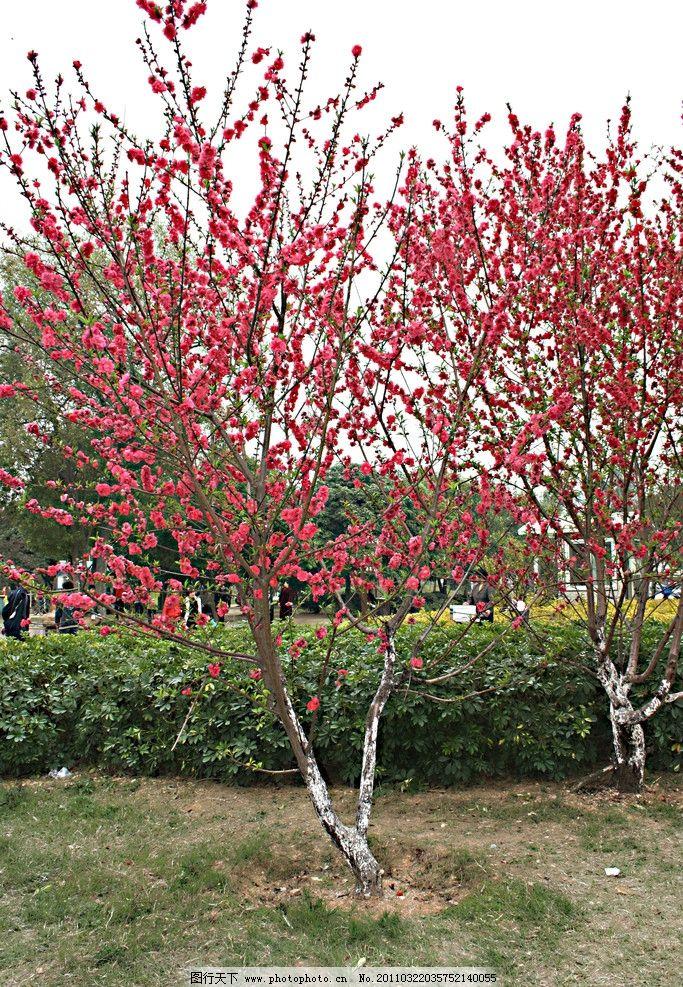 春天桃树的简笔画