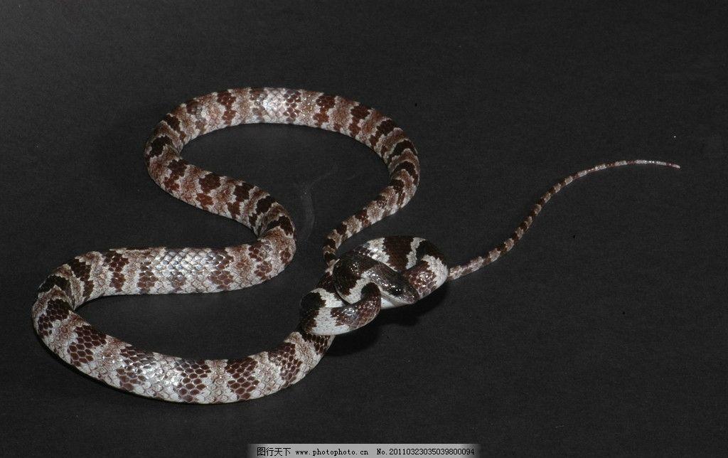 白梅花蛇 毒蛇 大蛇 蛇类 动物 动物世界 生物 生物世界 野生动物