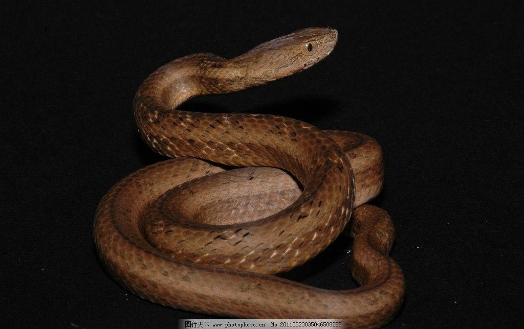 茶斑蛇 毒蛇 大蛇 蛇类 动物 动物世界 生物 生物世界 野生动物