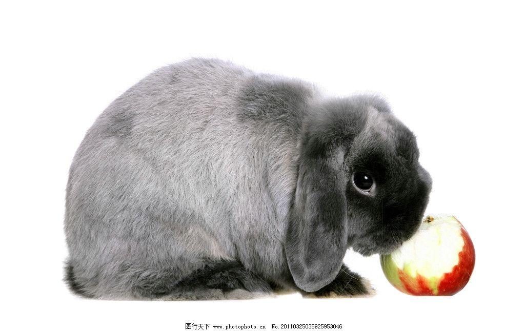 吃苹果的兔子 兔子 苹果 宠物 动物 水果 家禽主题 家禽家畜 生物世界