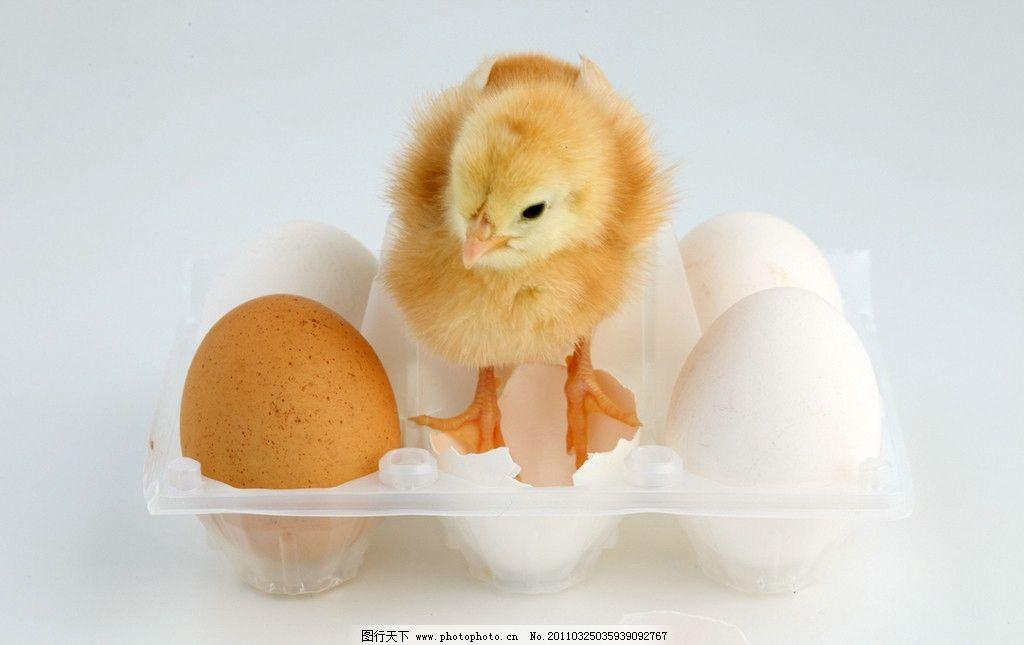 出生的小鸡 家禽 鸡蛋壳 破壳而出 孵化 出生 破壳 新生 小生命 可爱