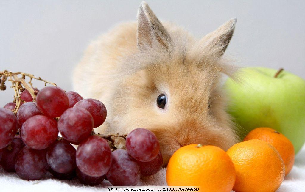 吃水果的兔子 兔子 苹果 葡萄 桔子 宠物 动物 水果 家禽主题 家禽