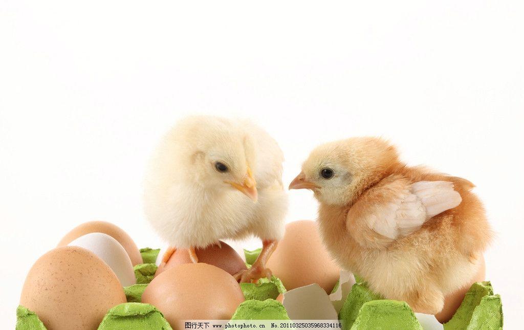 小鸡 鸡蛋壳图片