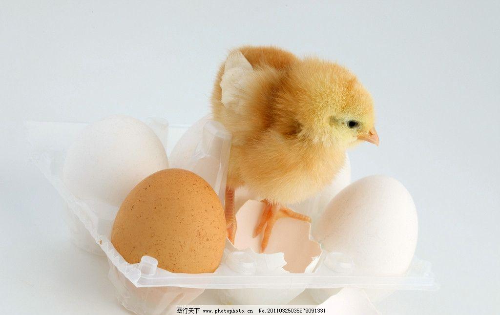 出生的小鸡 家禽 鸡蛋壳 破壳而出 孵化 出生 破壳 新生 生命 可爱