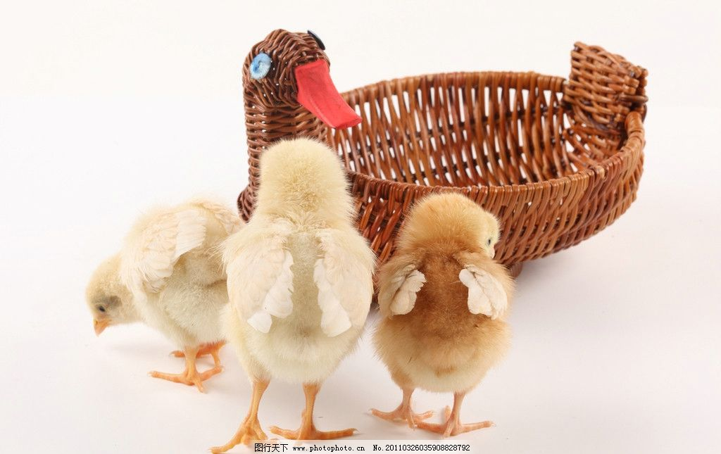 幼儿家禽动物图片大全