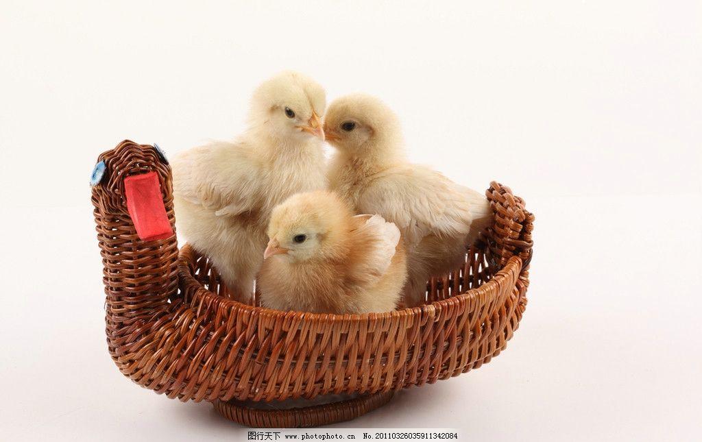 小鸡 家禽 小鸡崽 雏鸡 稚鸡 鸡宝宝 可爱的小鸡 小生命 毛茸茸的小鸡