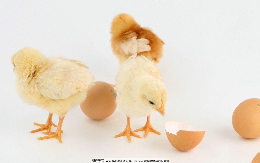 毛茸茸的小鸡图片_家禽家畜_生物世界_图行天