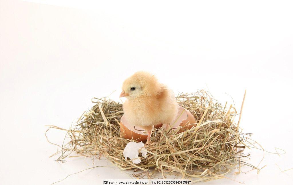 婴儿识图家禽动物图片