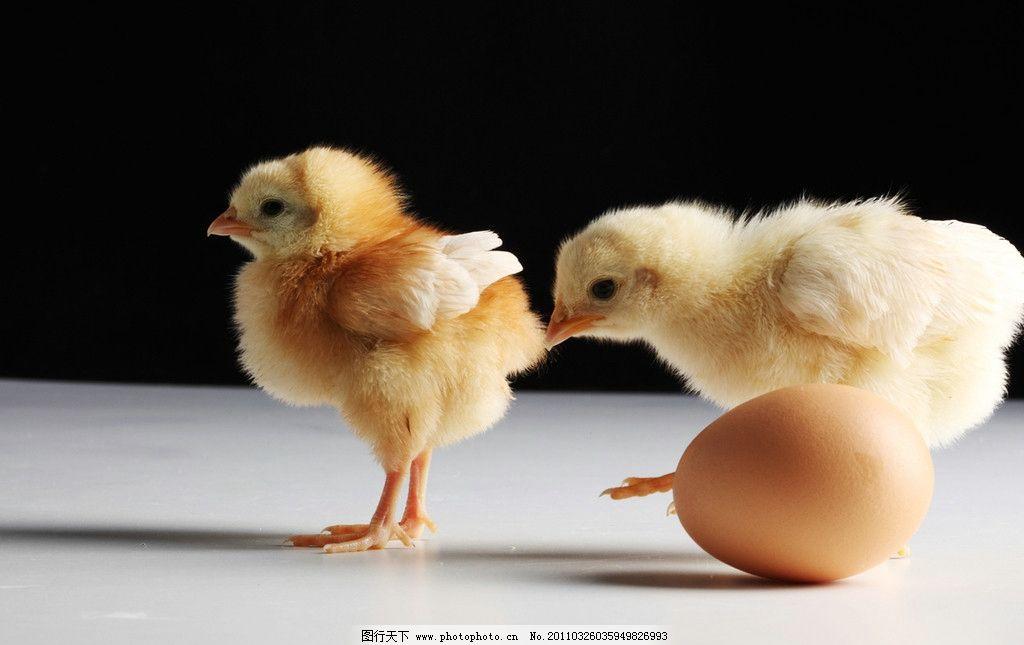 小鸡崽图片