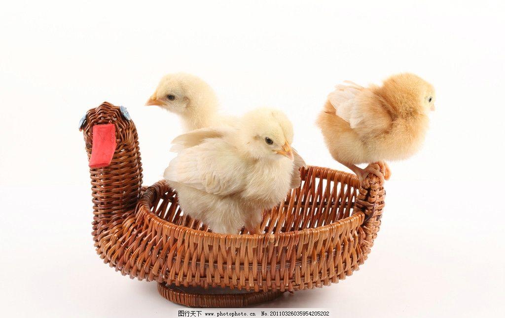 毛茸茸的小鸡 可爱的小鸡 小鸡 稚鸡 雏鸡 小鸡崽 鸡宝宝 可爱 小生命