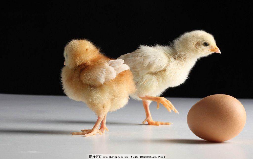 毛茸茸的小鸡图片_家禽家畜_生物世界_图行天下图库