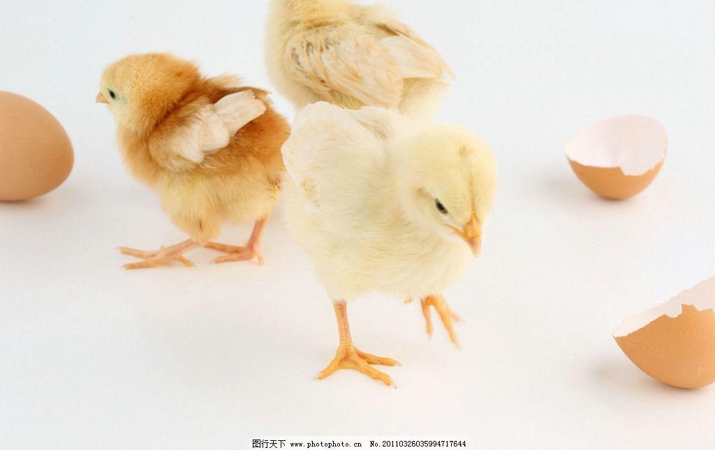 壳外孵小鸡新消息评论