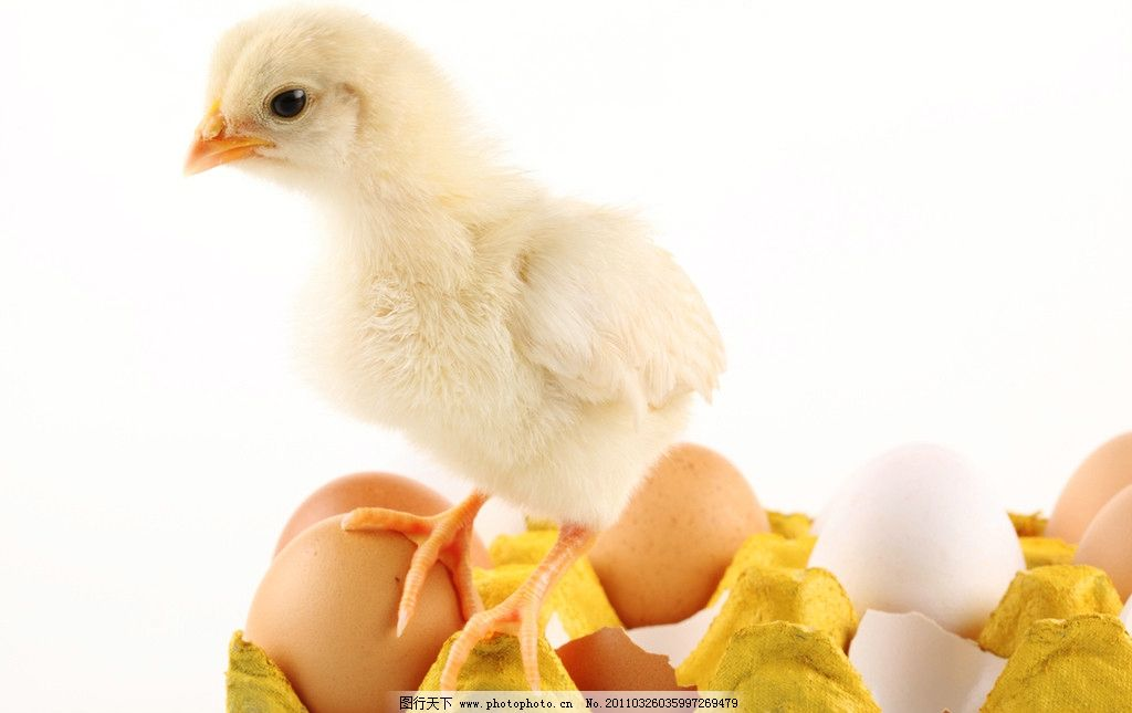 小鸡崽 雏鸡 刚出生的小鸡 稚鸡 小鸡仔 鸡宝宝 毛茸茸的小鸡 蛋壳