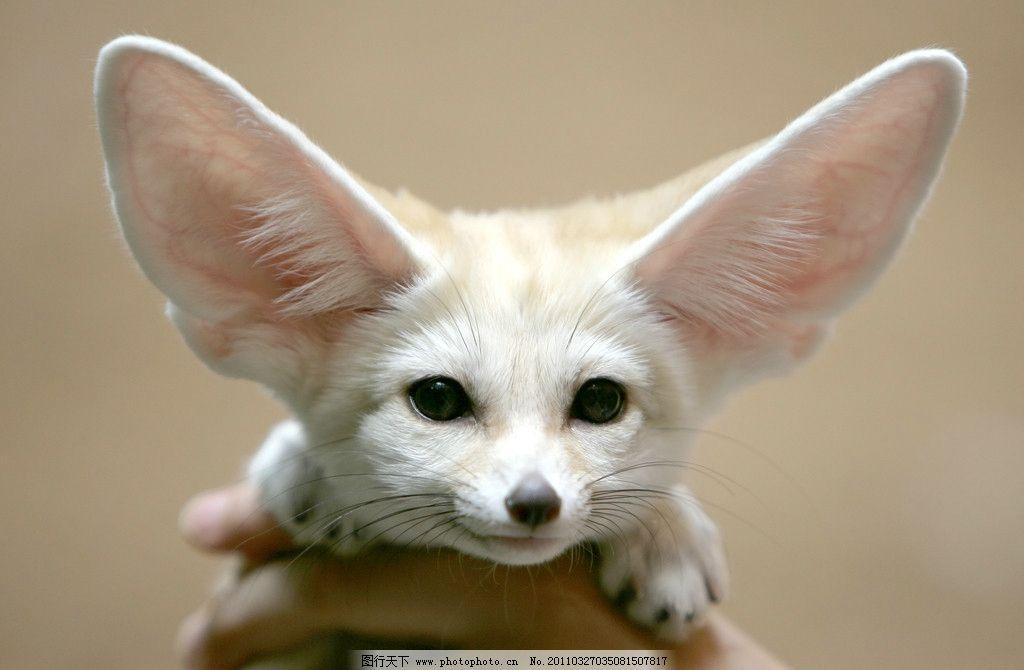 狐狸 小动物 大耳朵 白毛 摄影