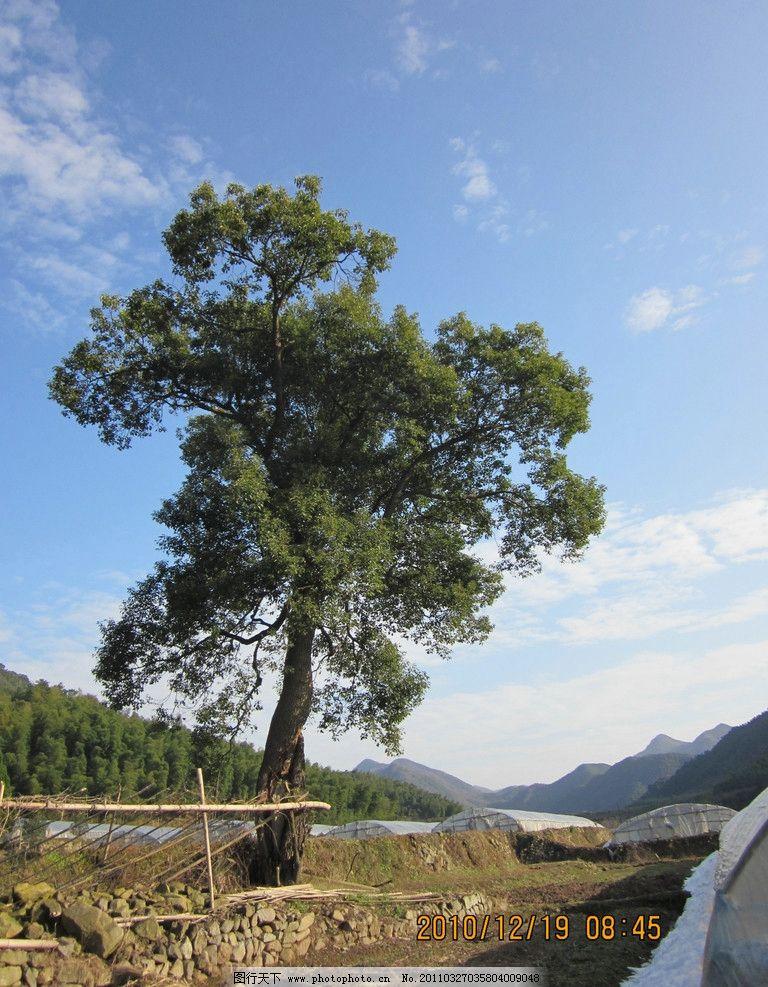 蓝天白云和树 树 大树 绿树 蓝天 白云 树木树叶 生物世界 摄影 180