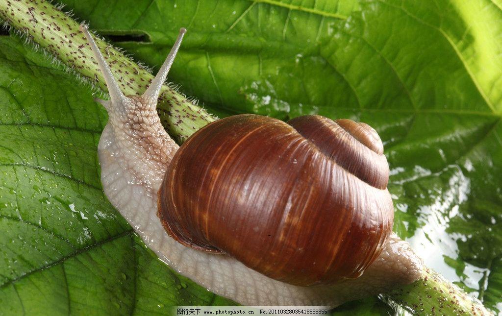 蜗牛 可爱的蜗牛 昆虫 绿叶 树叶 茎叶 软体动物 动物摄影 生物世界