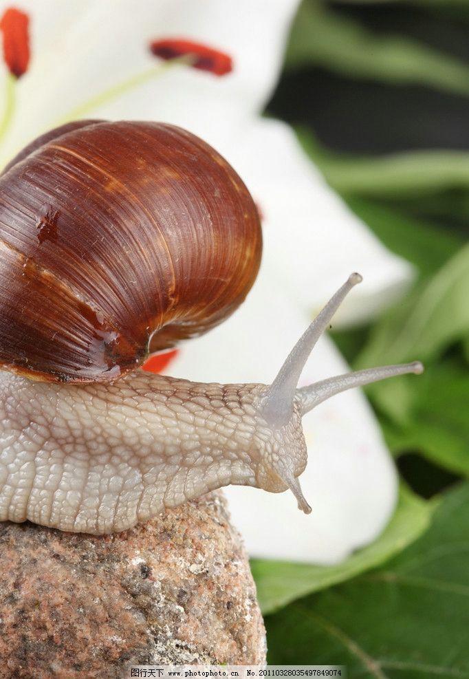 蜗牛 可爱的蜗牛 昆虫 百合花 软体动物 动物摄影 生物世界 摄影 300d