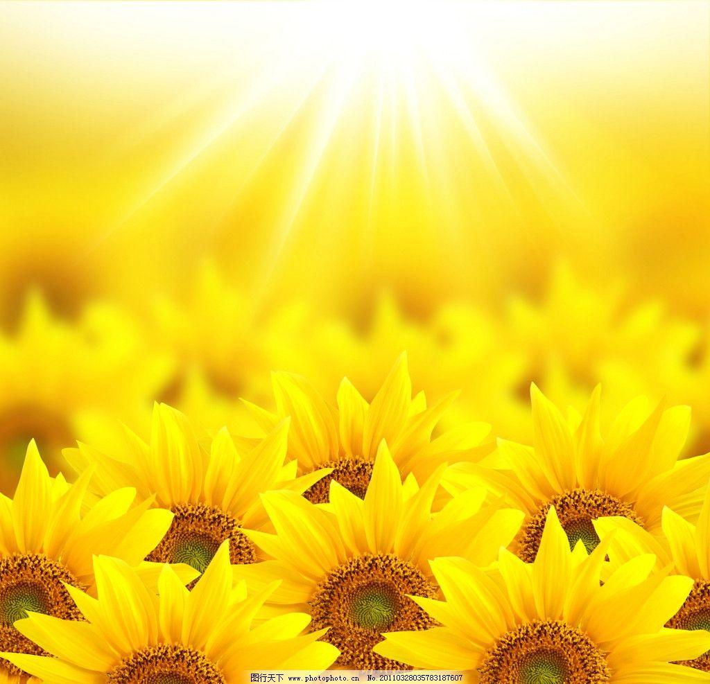 向日葵背景 向日葵 太阳 阳光 花卉 鲜花 背景 花花世界 花草 生物