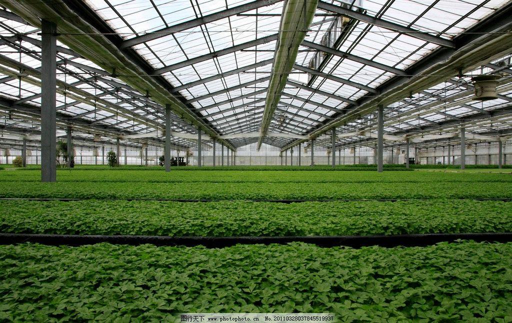 温室大棚 芹菜 蔬菜 基地 种植 农业生产 现代科技 摄影