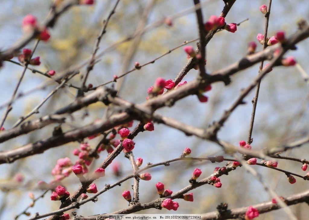 桃花 花蕾 出春 树枝 树木树叶 生物世界 摄影 72dpi jpg