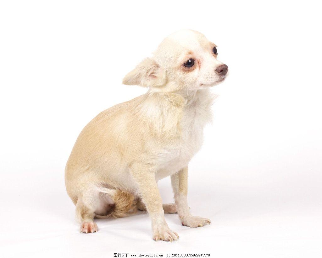 宠物小狗 宠物 小狗 可爱 动物 吉娃娃 家禽主题 家禽家畜 生物世界