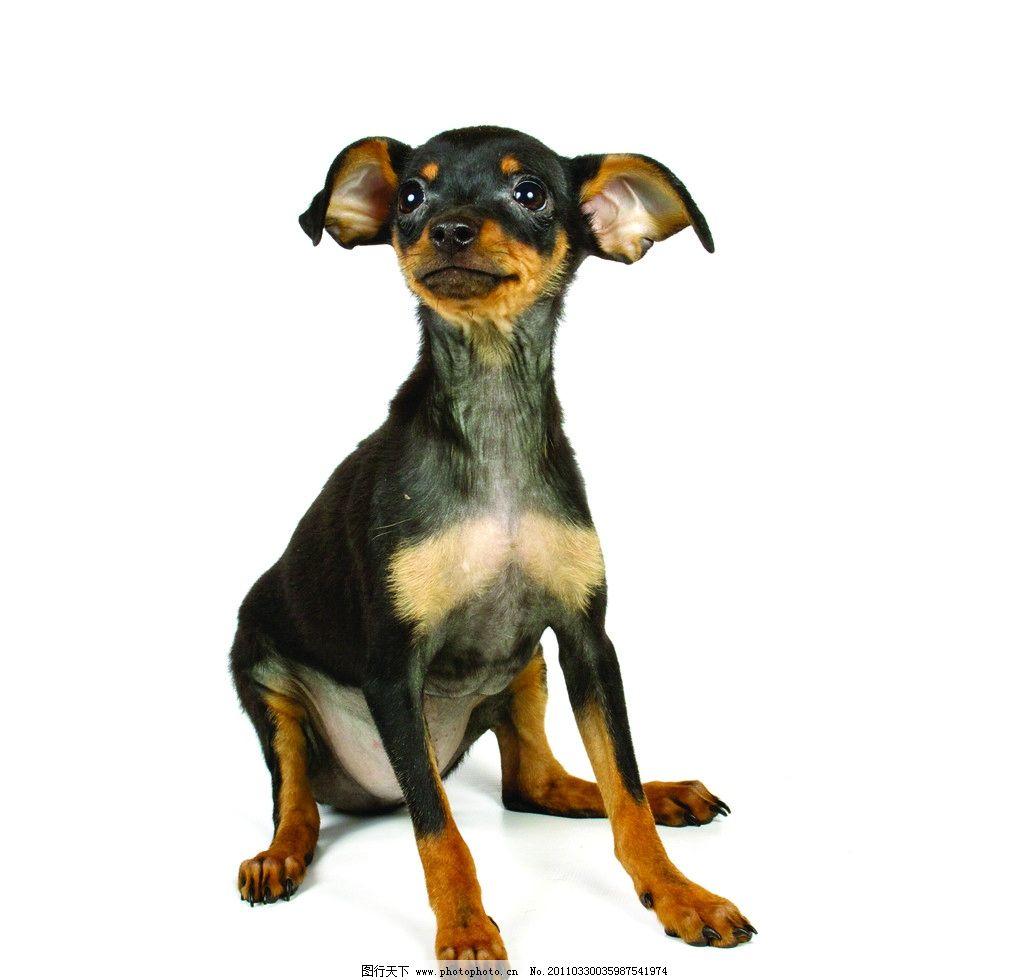宠物小狗 可爱 动物 吉娃娃 家禽主题 摄影
