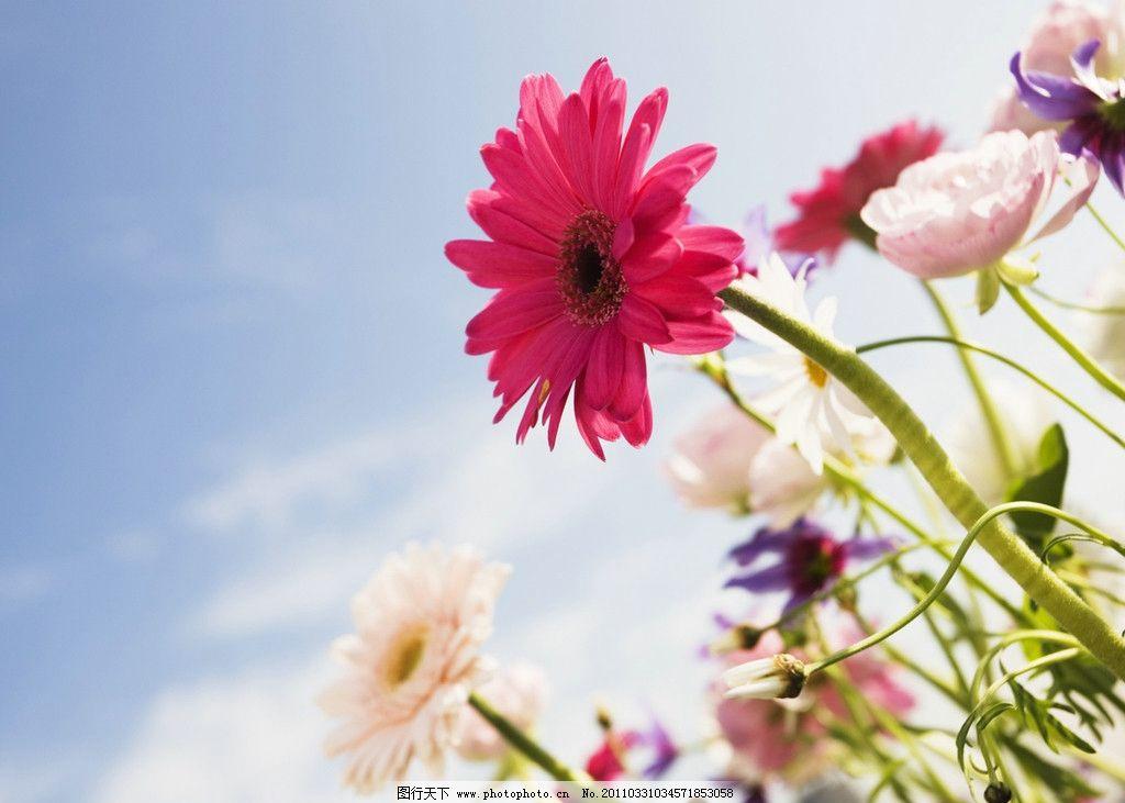 怒放的鲜花 非洲菊 扶郎花 背景 红花 花特写 春天 意境 花与天空