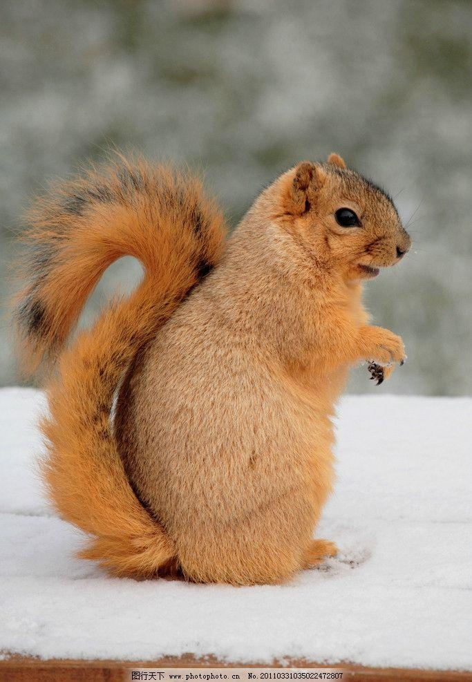 小松鼠 松鼠 可爱 动物 野生动物jpg 野生动物 生物世界 摄影 300dpi
