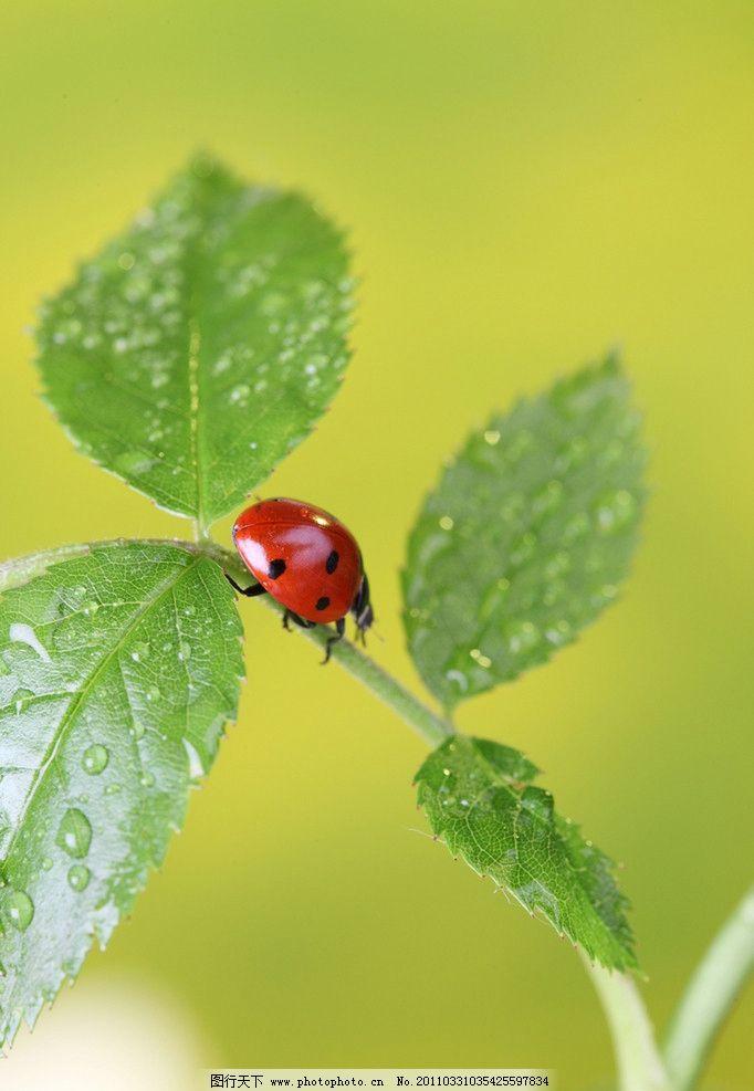 瓢虫 绿叶上的七星瓢虫 昆虫 绿叶 树叶 水珠 水滴 露水 露珠 微距