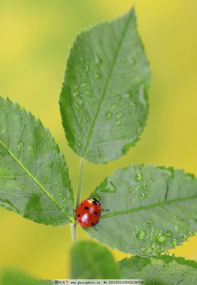 瓢虫 七星瓢虫 昆虫 绿叶 树叶 水珠 水滴 露水 露珠 微距 生物世界